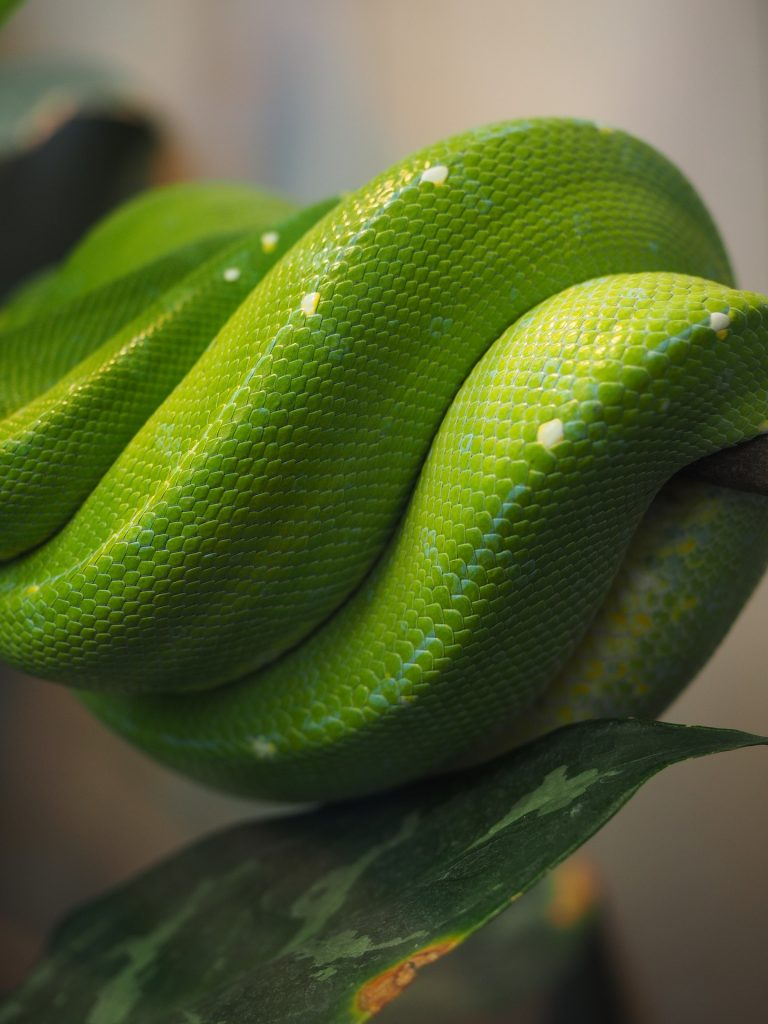 Raise Green Tree Pythons as Pets