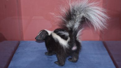 Photo of How Long Does Skunk Smell Last? Guide To Remove It In 10 Days