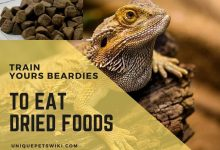 Photo of Exclusive Tips To Train Your Bearded Dragon To Eat Dried Food