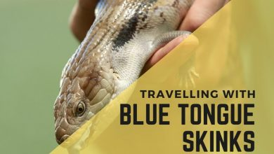 Photo of Stress-Free Tips For Traveling With Your Blue Tongue Skinks