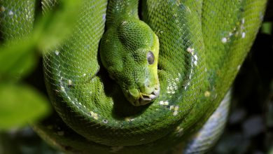 Photo of Green Tree Python Free Images Gallery