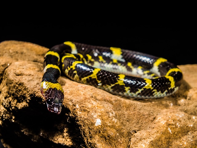 young milk snake