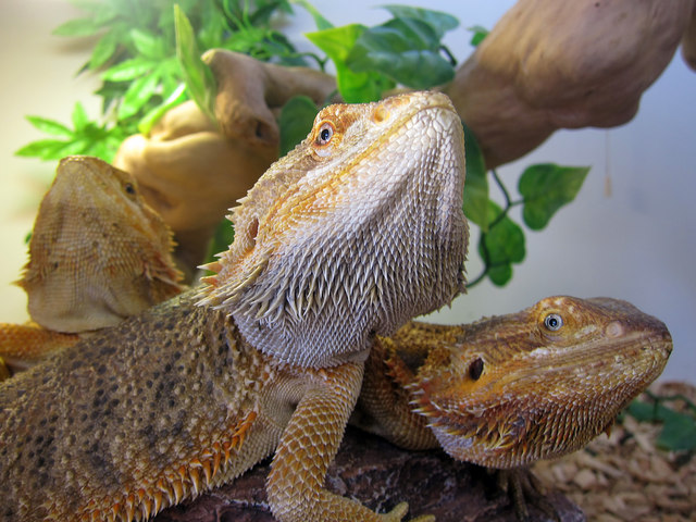 Bearded Dragons in their Habitat