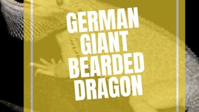 Photo of German Giant Bearded Dragon The Complete Guide