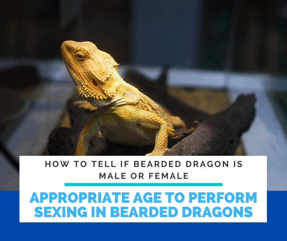 What Is The Appropriate Age To Perform Sexing In Bearded Dragons?