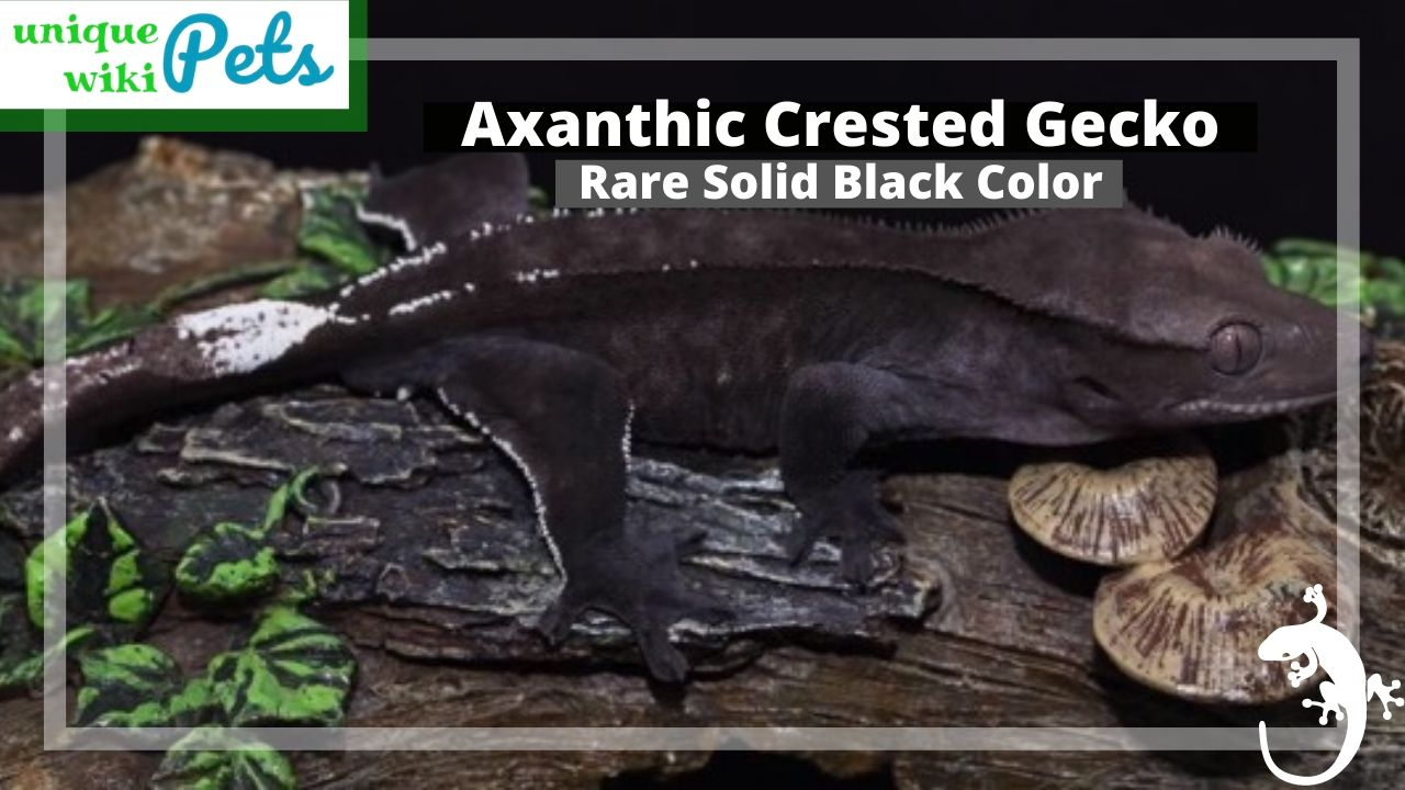 Axanthic Crested Gecko