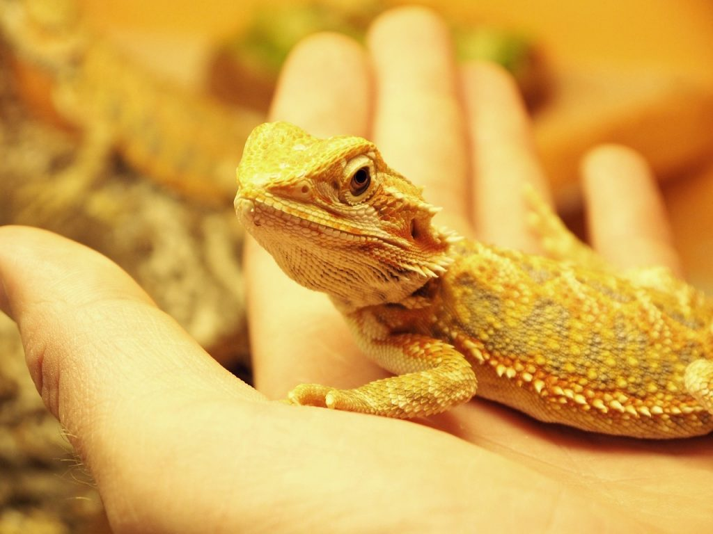 Bearded Dragon Excessive Handling