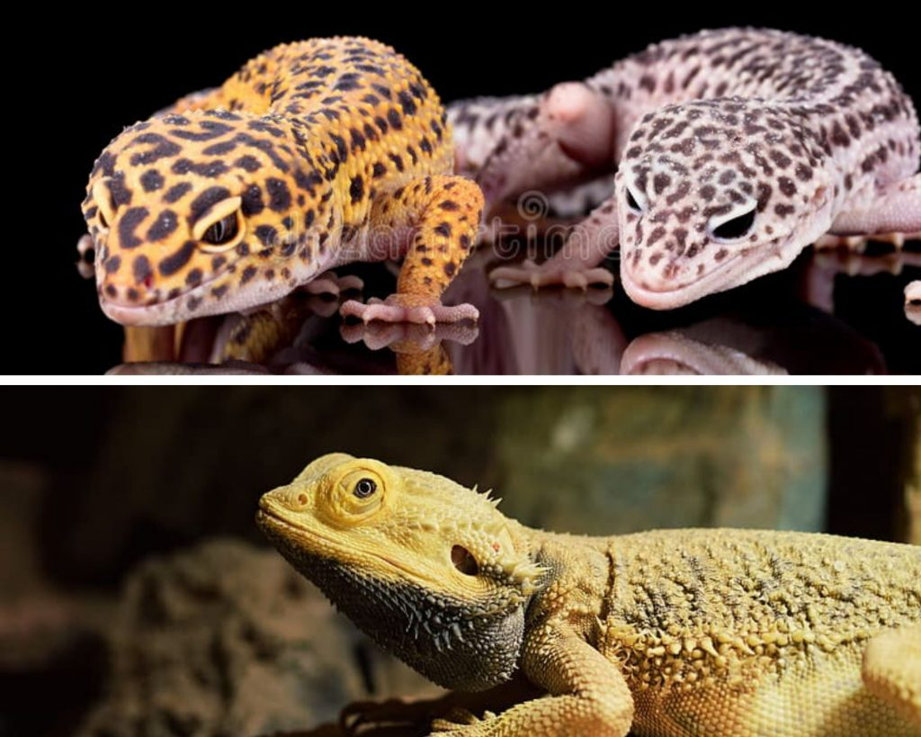 Leopard Gecko and Bearded Dragon Group