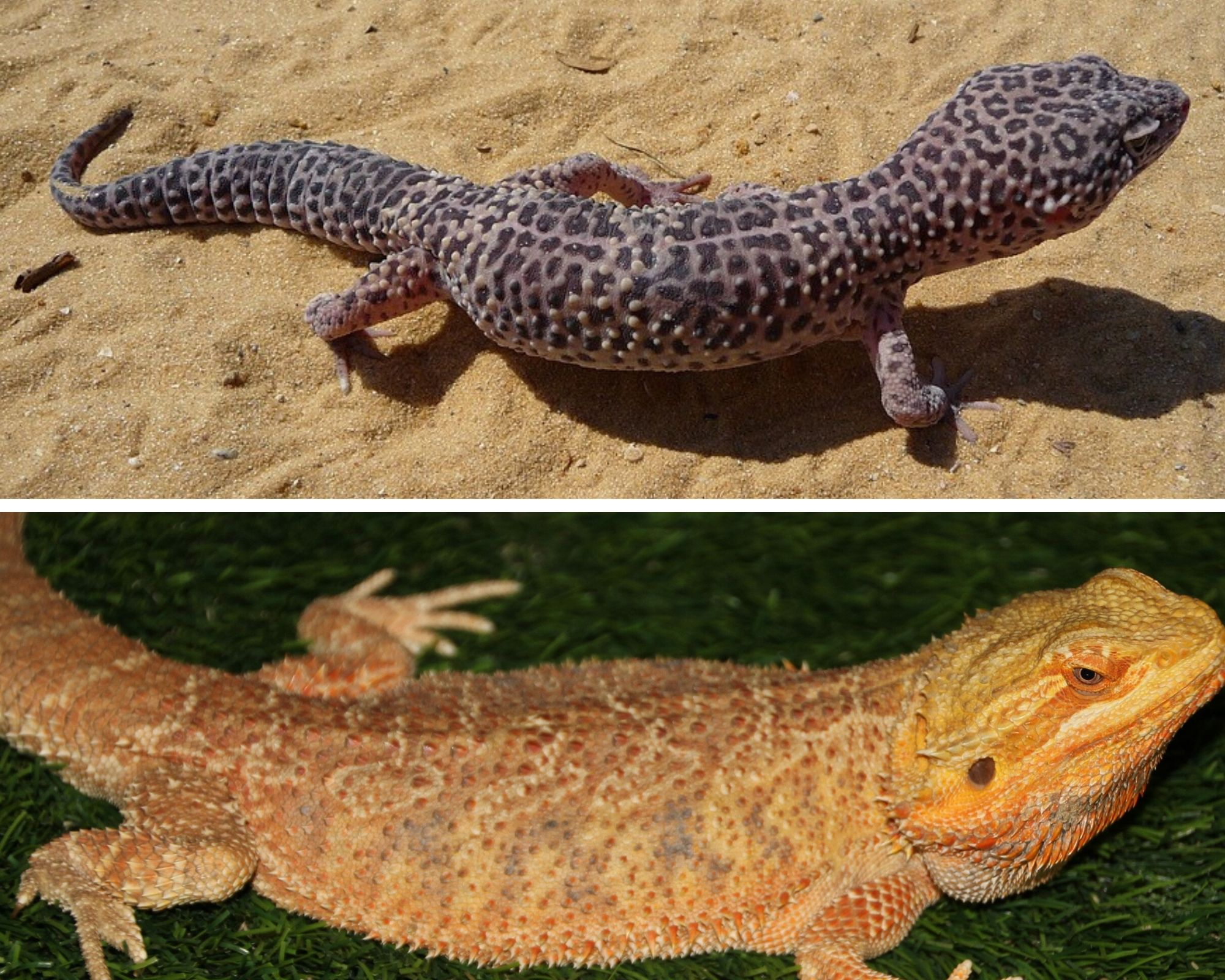 Leopard Gecko and Bearded Dragon Size and Weight