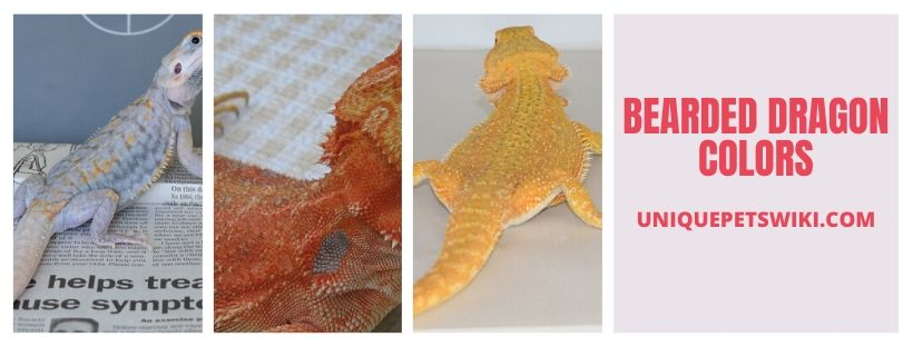 Bearded Dragon Colors Group 2