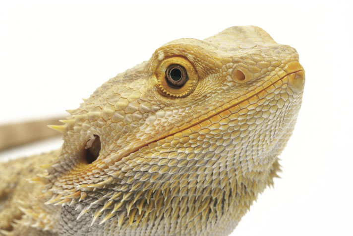 How Long Bearded Dragon Lives