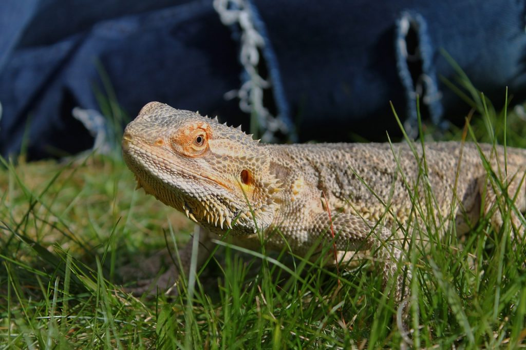 Bearded Dragon on grass