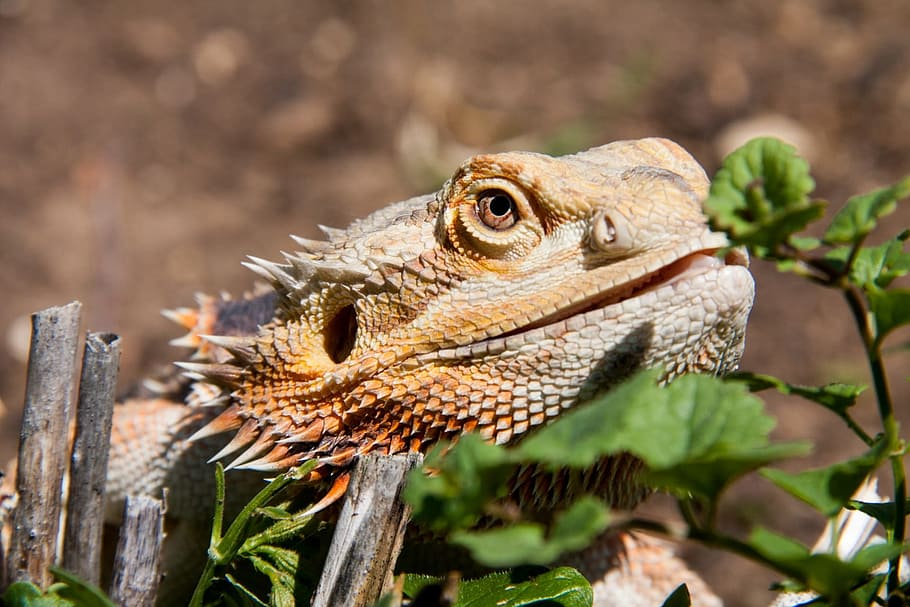 Bearded Dragon in the Wild