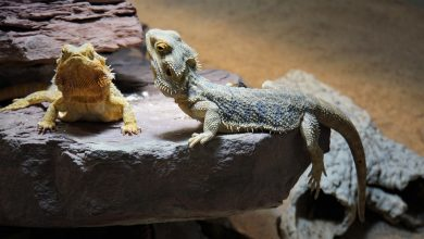 Photo of Bearded Dragon Morphs, Colors And Patterns (Pictures Included For Download)