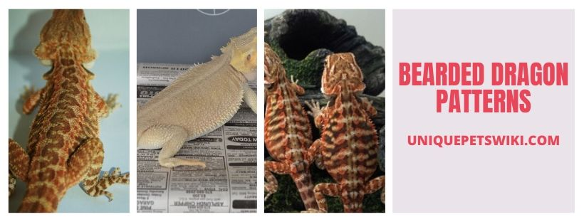 Bearded Dragon Patterns Infographic