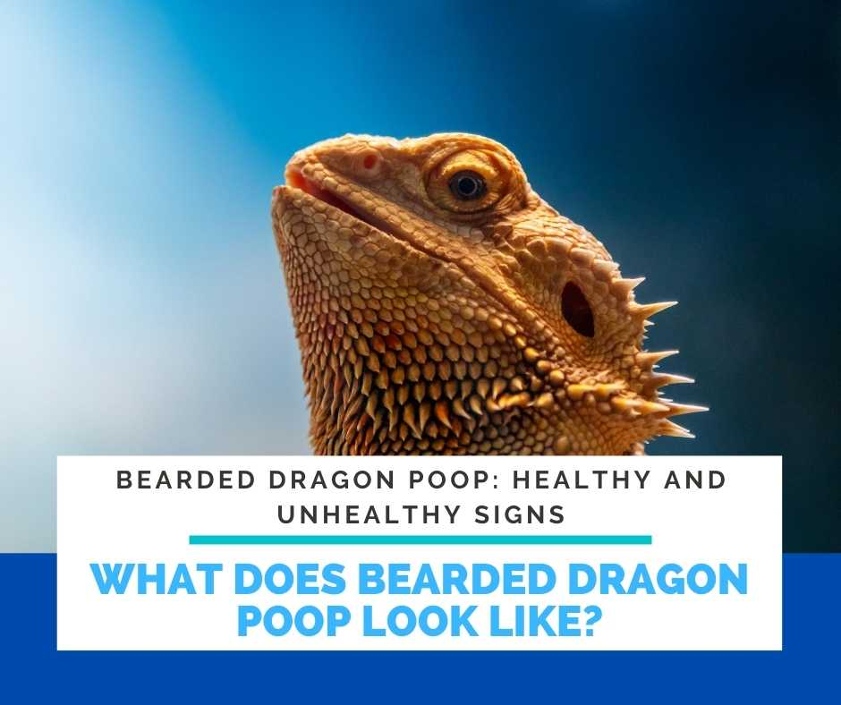 What Does Bearded Dragon Poop Look Like?