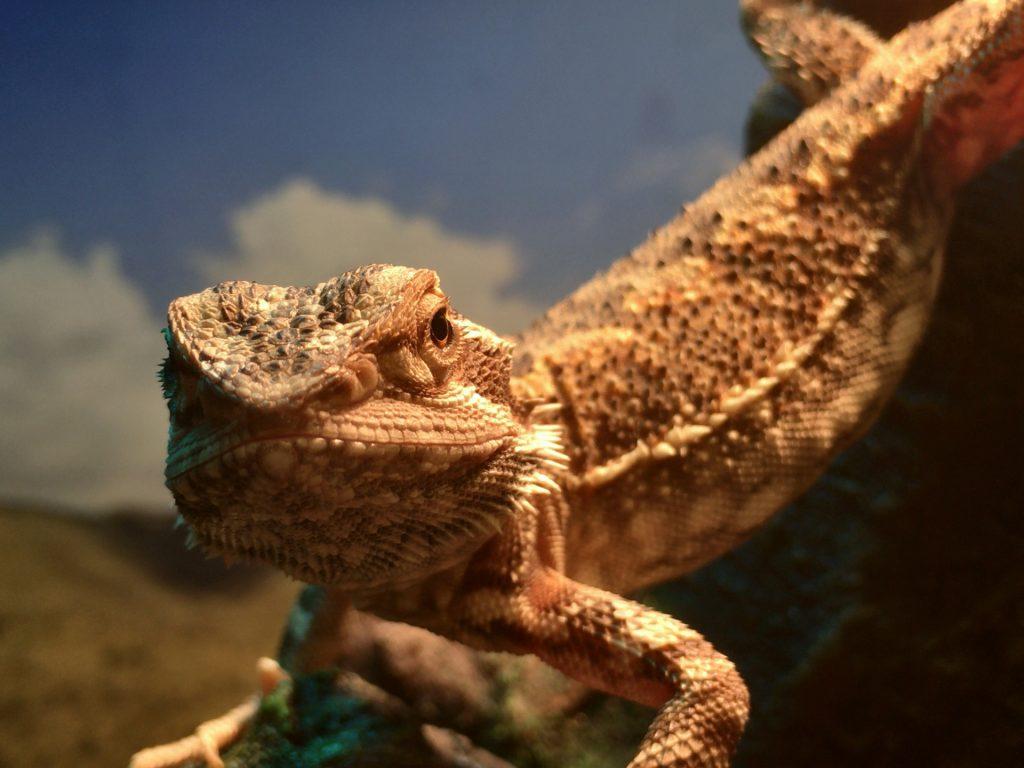 Bearded Dragon Habitat Temperature