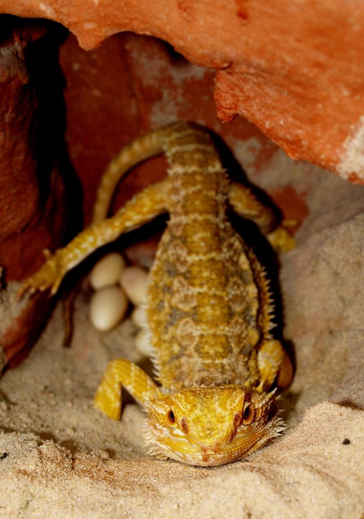 Bearded Dragons With Eggs
