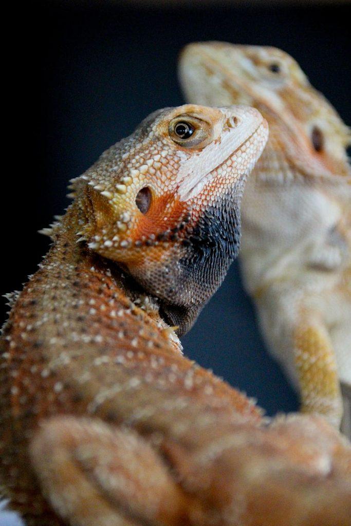 Bearded Dragon Black Beard May Be Due To Stress