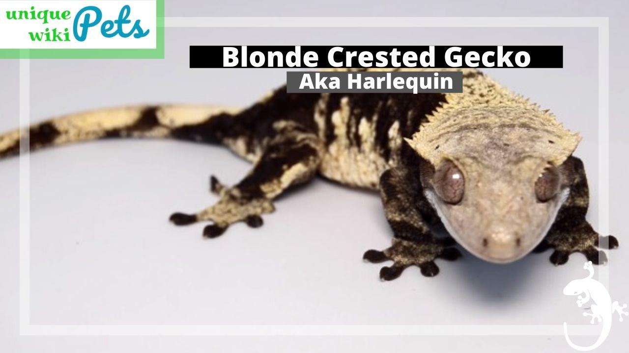 Blonde Crested Gecko