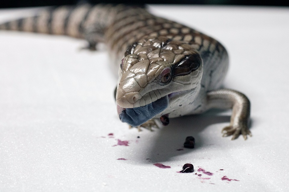 What If Skink Poops A Lot