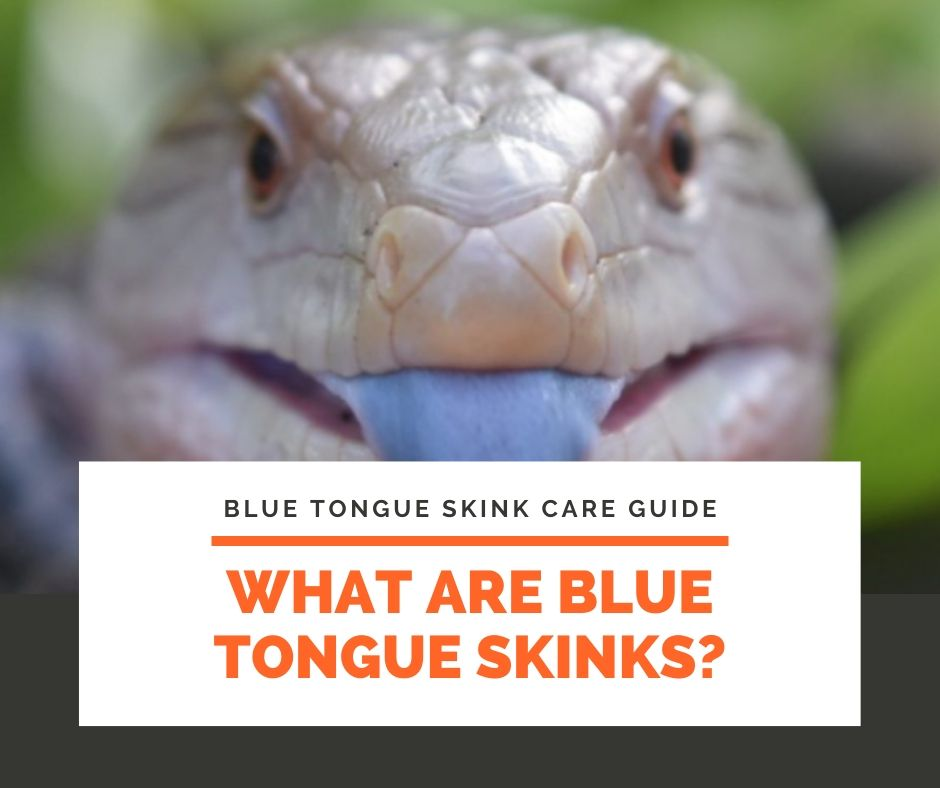 What Are Blue Tongue Skinks?