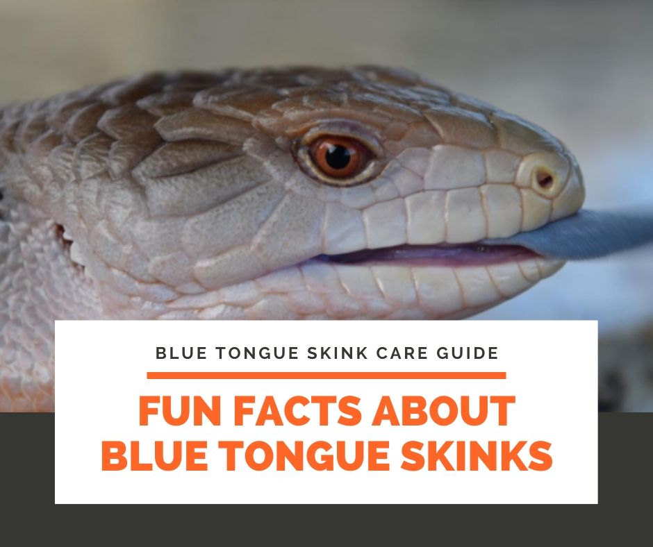 Fun Facts about Blue Tongue Skinks