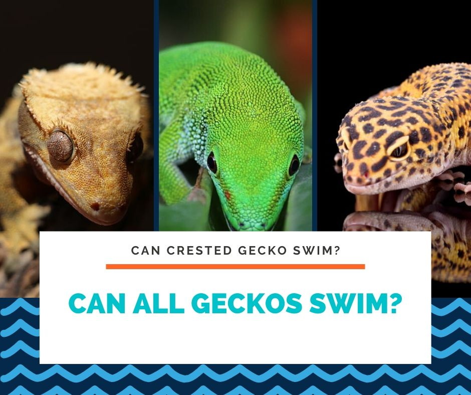 Can All Geckos Swim?
