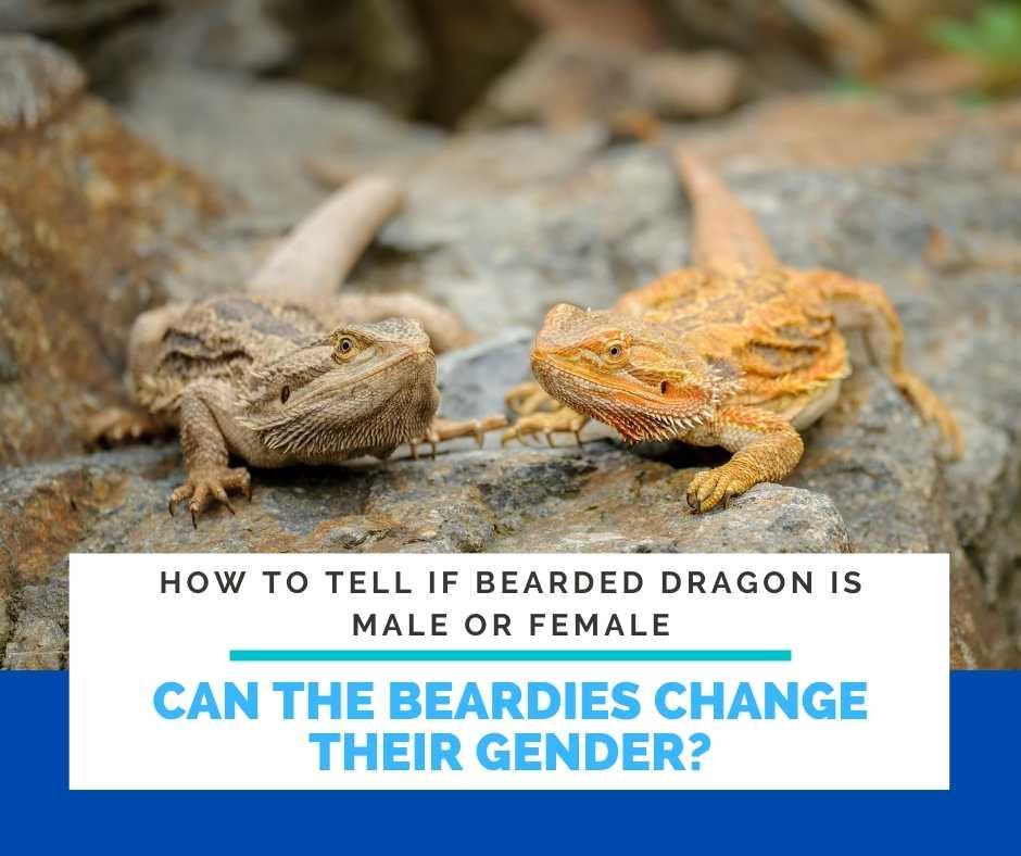 Can The Beardies Change Their Gender?