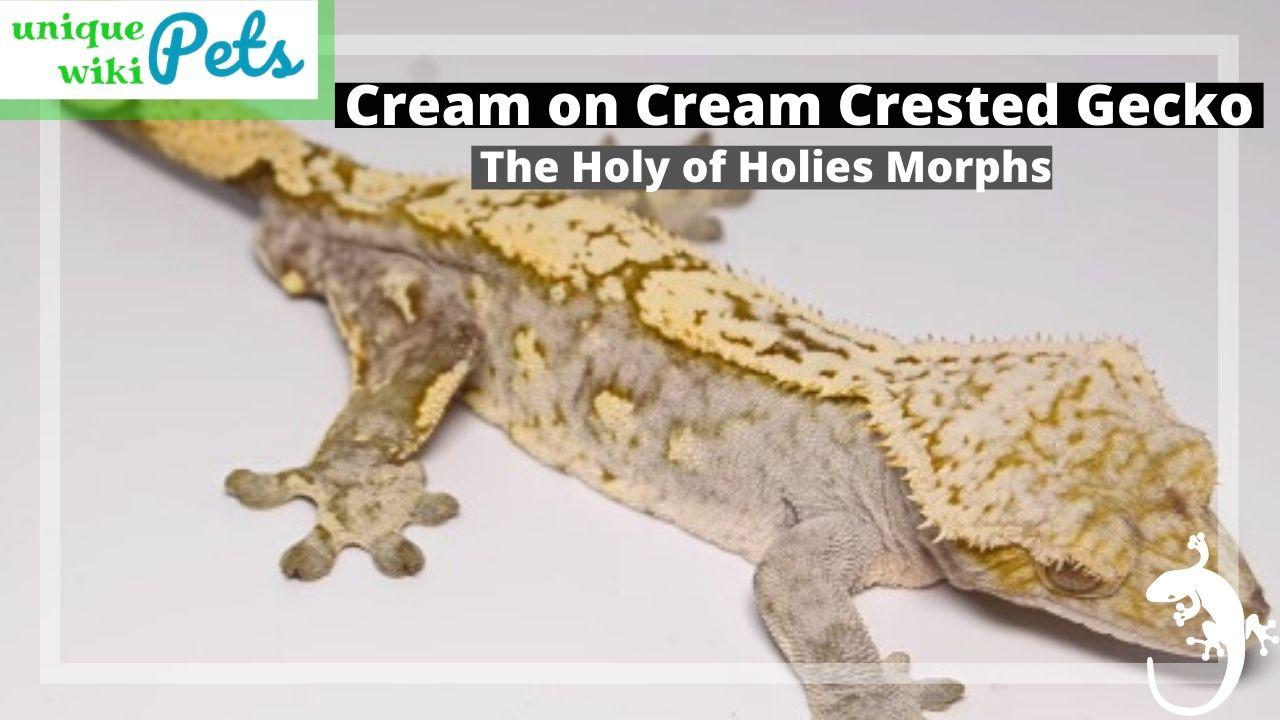Cream On Cream Crested Gecko