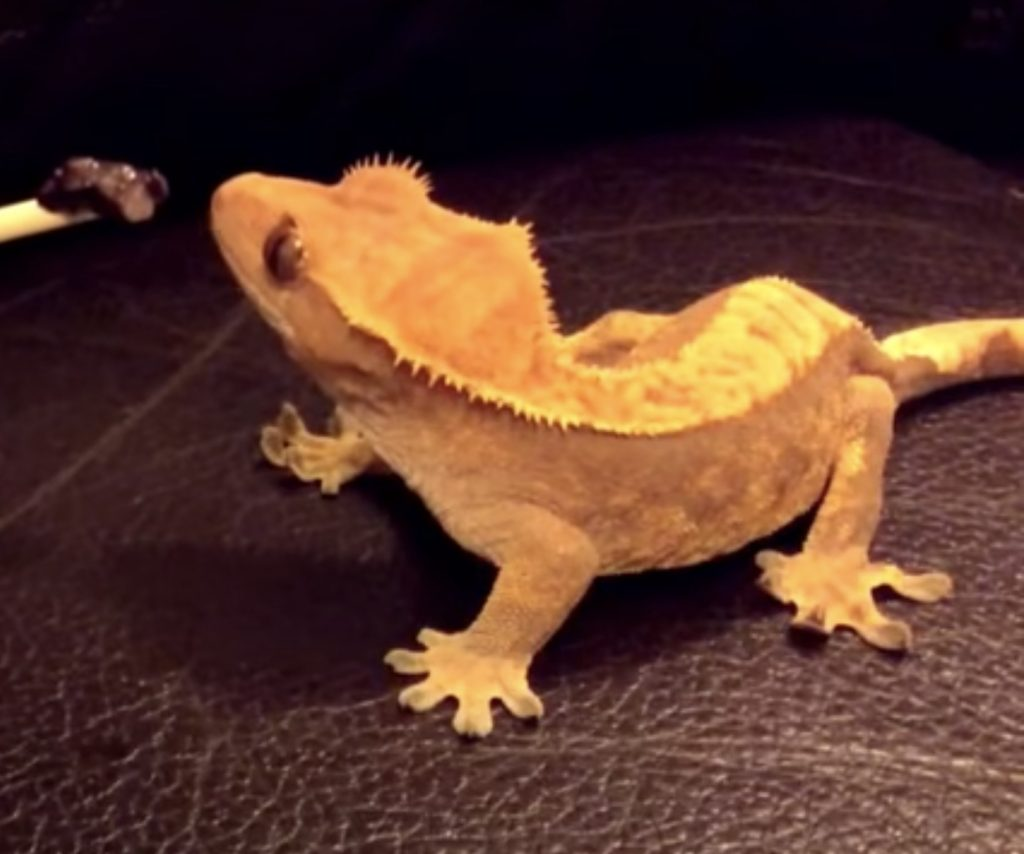 What Fruits Can Crested Geckos Eat?