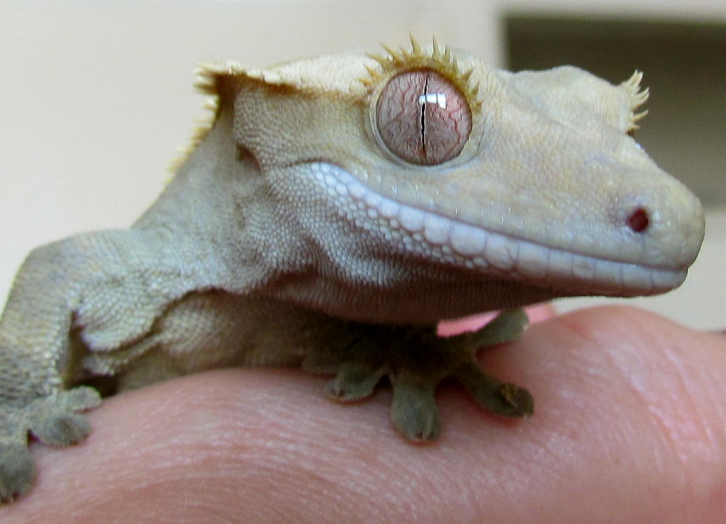 Eye Problems in Crested Gecko