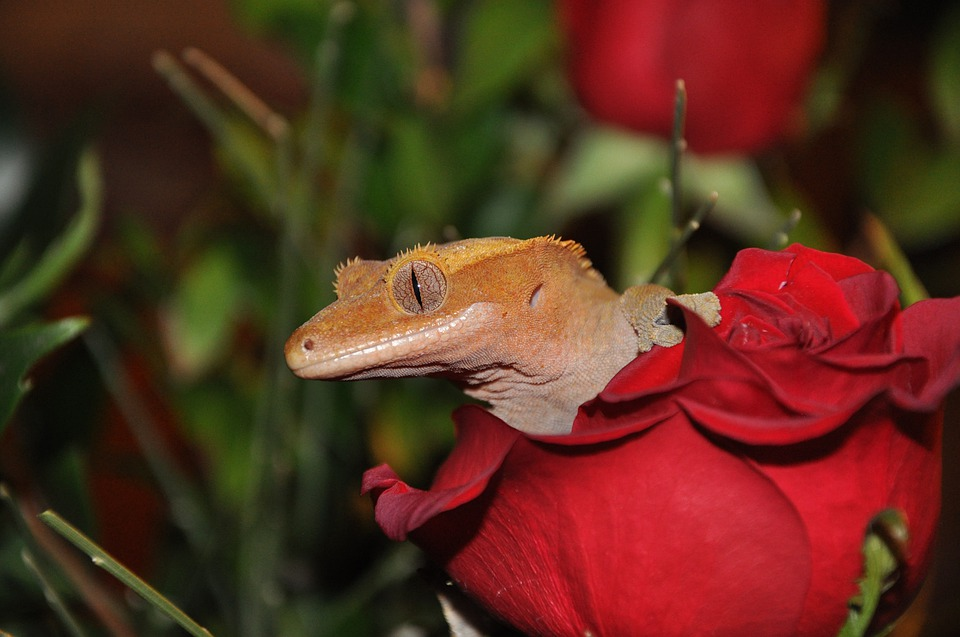 Crested Gecko Female Names