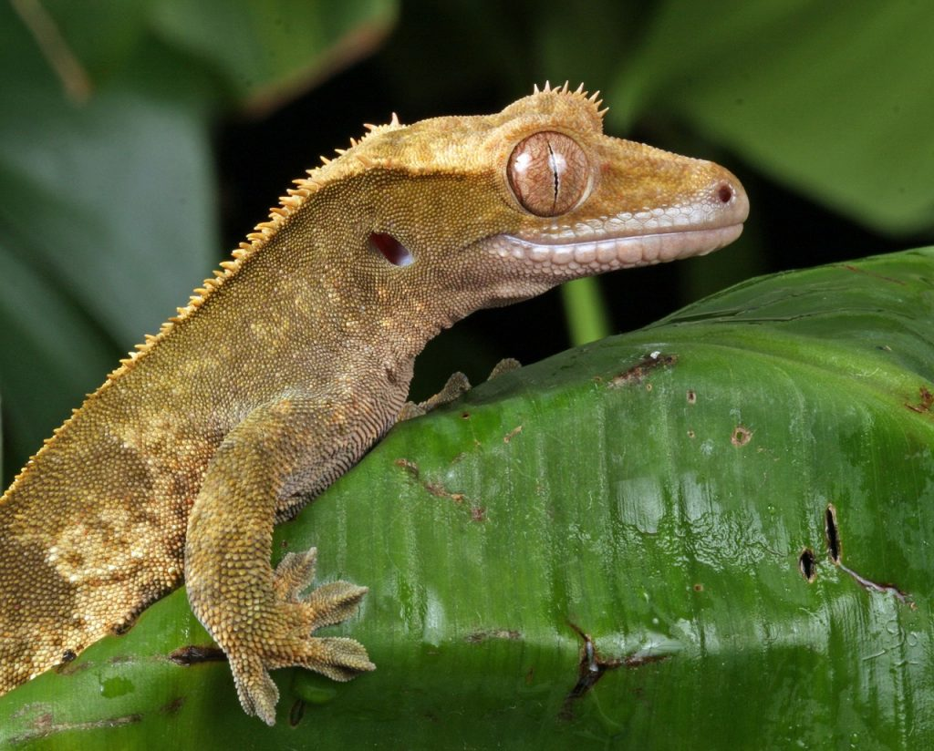 Crested Gecko in the Wild