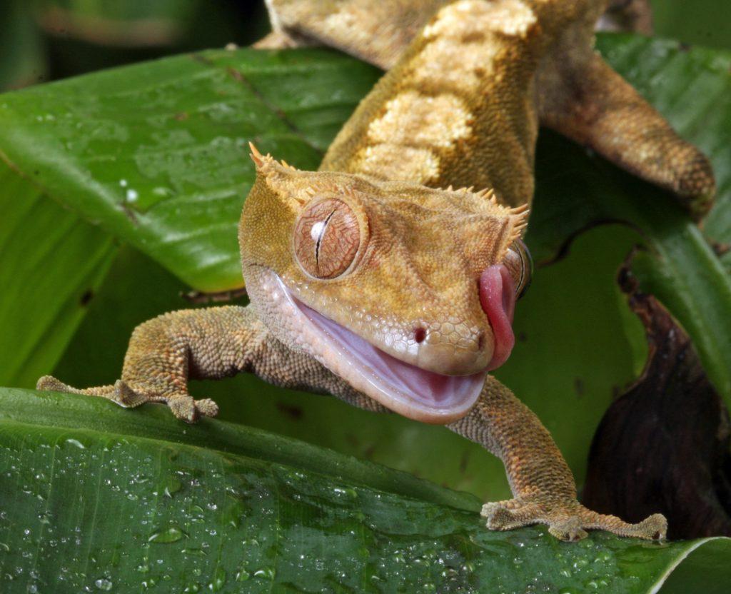 Aggressive Crested Gecko