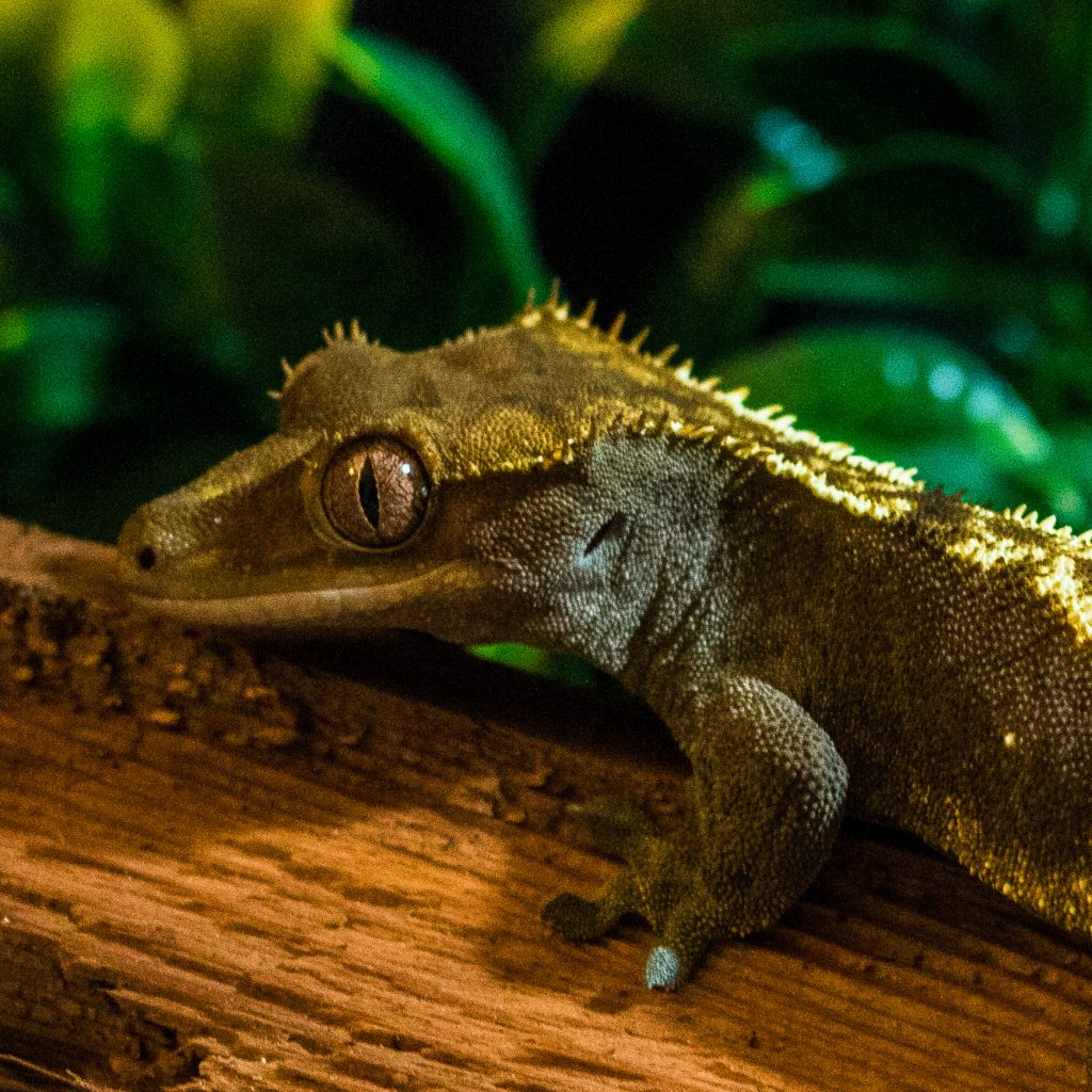 Crested Gecko Substrate