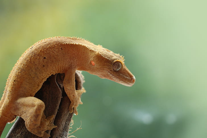 Factors that can Shorten Crested Gecko's Lifespan