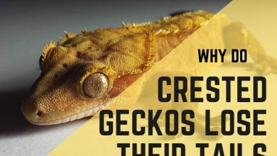 Photo of Why Do Crested Geckos Lose Their Tails?