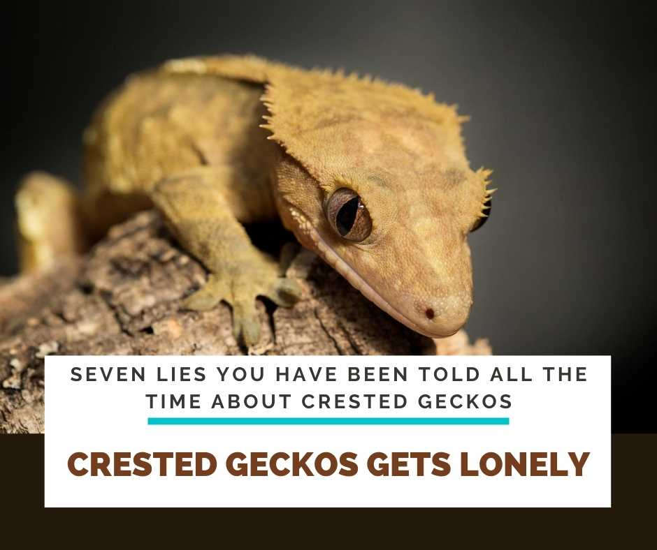 Crested Geckos Gets Lonely