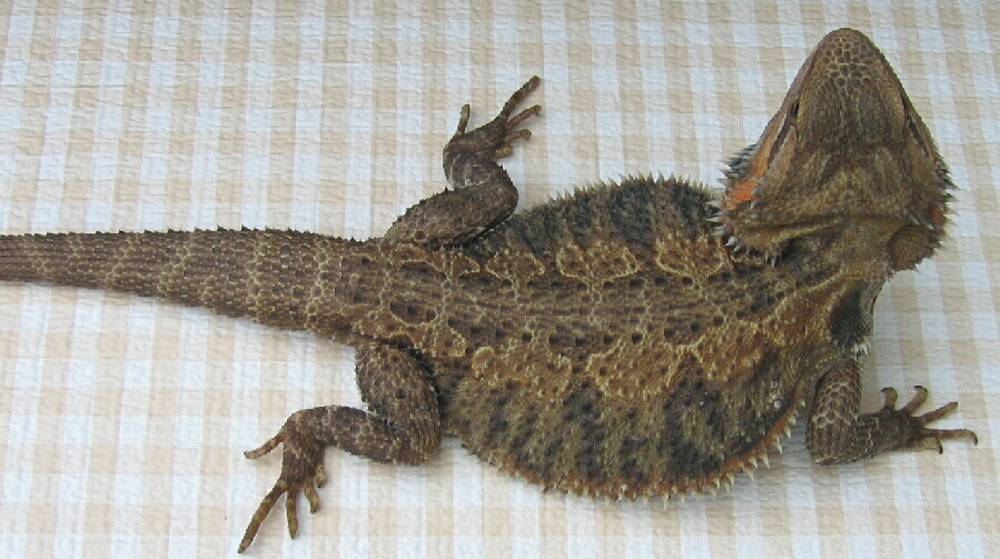 Brown Bearded Dragon