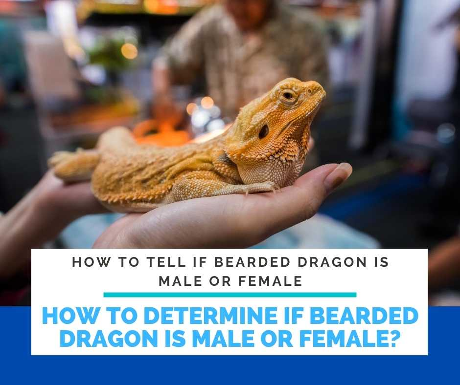 How Can You Determine If Bearded Dragon Is Male Or Female?