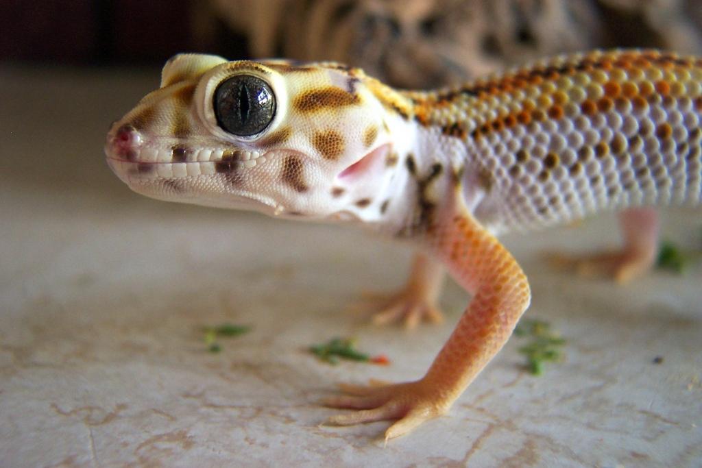 Frog Eyed Gecko