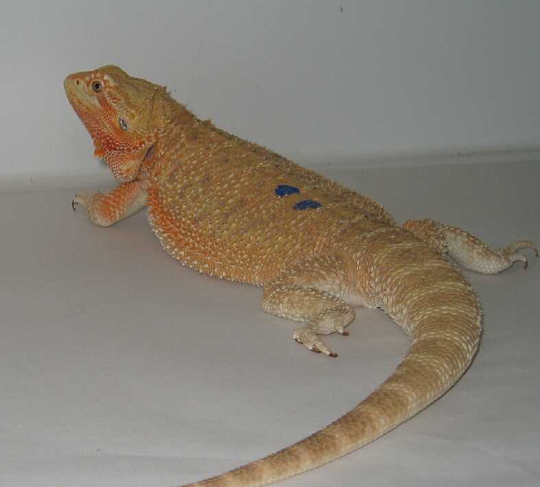 German Giant Bearded Dragon