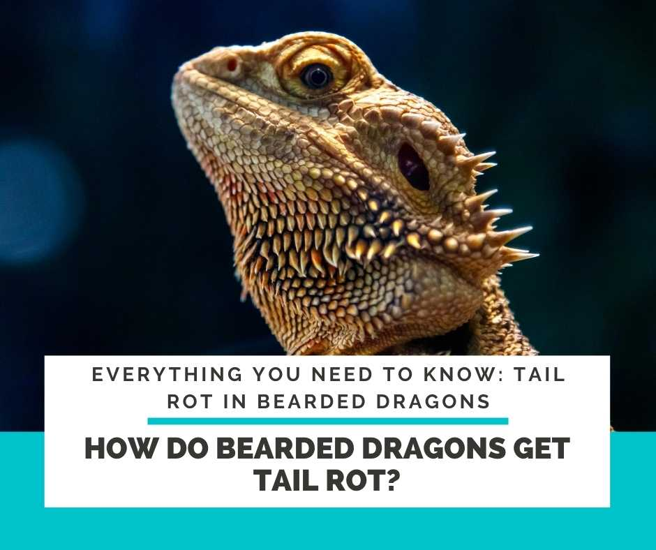 How Do Bearded Dragons Get Tail Rot?