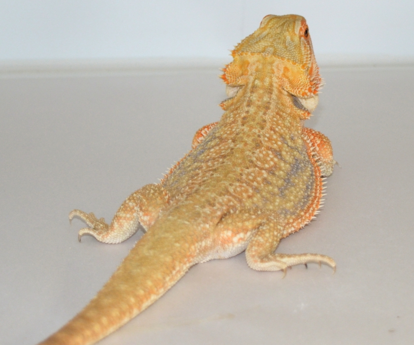 Dunner Bearded Dragon