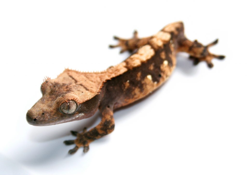 Is A Tailless Gecko Less Valuable?