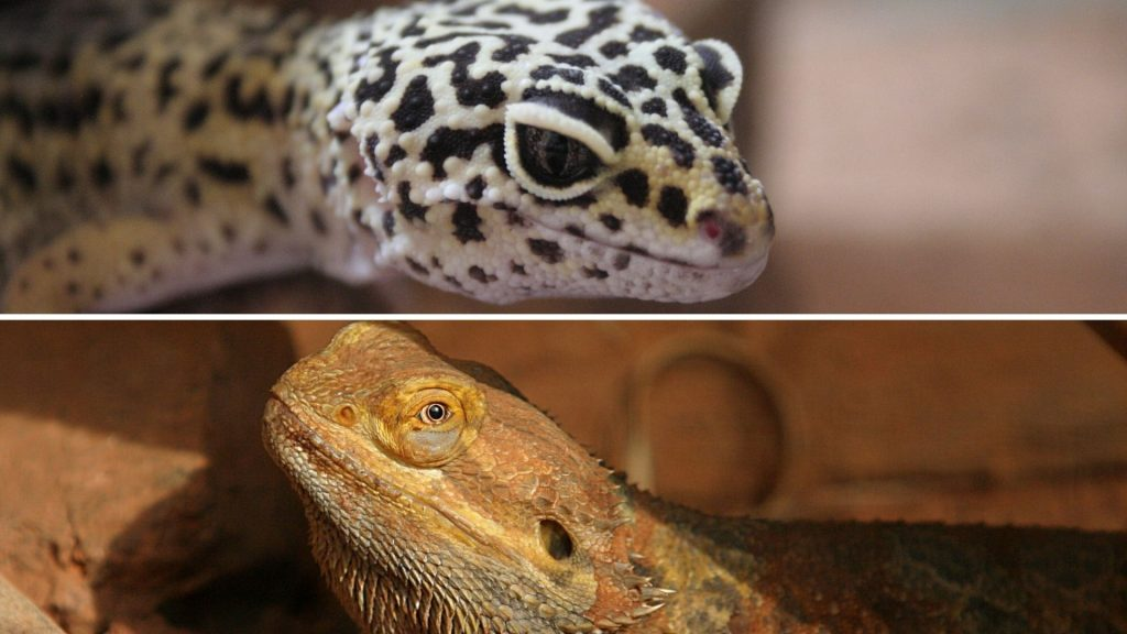 Leopard Gecko and Bearded Dragon Appearances