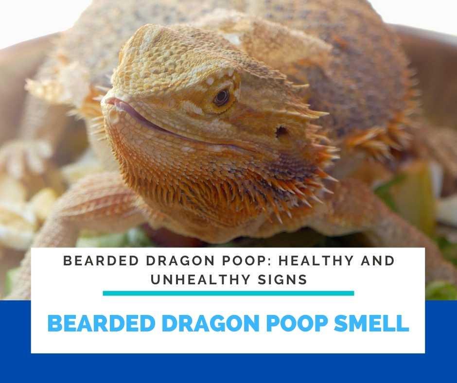Bearded Dragon Poop Smell