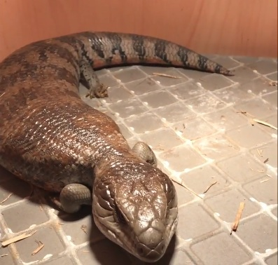 Pregnant Female Blue Tongue Skink