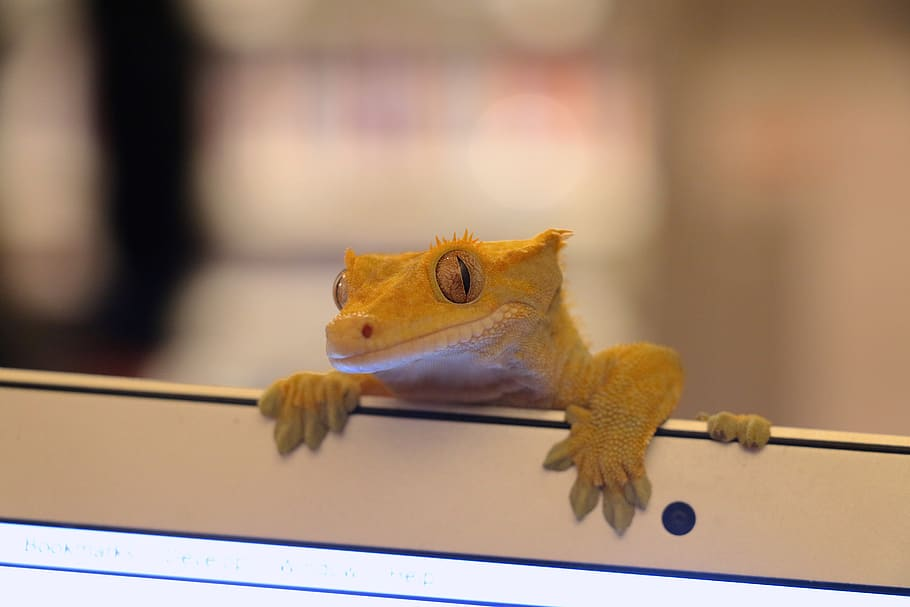 Princes Crested Gecko Names